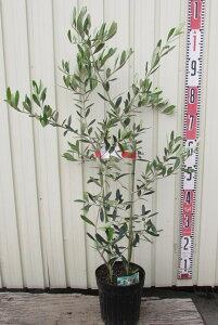【2品種植え】オリーブの木 苗木  5.5号 【選べる品種】