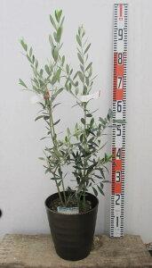 【2品種植え】オリーブの木 苗木 7号フレグラー鉢植え【選べる品種】(d10)