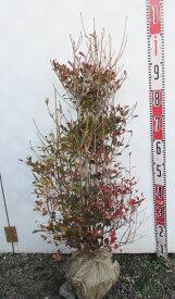 ドウダンツツジ 苗木 W30cm×H70cm《花、紅葉が美しい庭木》