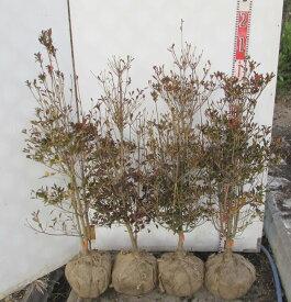 ドウダンツツジ 苗木 生垣用80cm×4本セット 《根巻き苗、花、紅葉が美しい庭木》