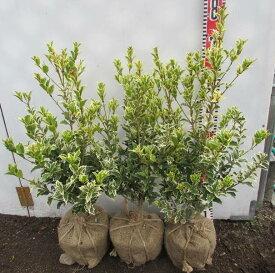 斑入り柊(フイリヒイラギ) 縞柊(シマヒイラギ) 苗木 樹高約40cm 3本セット