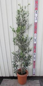オリーブの木 シプレチーノ(シプレシーノ) 苗木 樹高1.2m  8号鉢植え