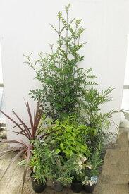 シンボルツリーのシマトネリコとグランドカバー低木セット