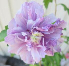 ムクゲ 紫八重 6号苗