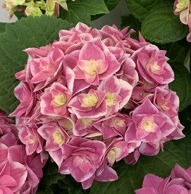 【花傷み】アジサイ(紫陽花・あじさい) 花鳥風月(カチョウフウゲツ) ピンク 5号鉢【21年入荷株】