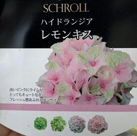 【花終わり】アジサイ(紫陽花、あじさい) レモンキス 5号【21年入荷株】