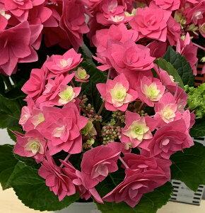 【花咲き過ぎ】アジサイ(紫陽花、あじさい) フレーム ピンク 5号鉢植え【21年入荷株】
