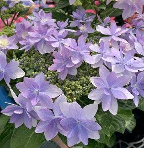 【花咲き過ぎ】アジサイ(紫陽花・あじさい) ダンスパーティー パープル 5号鉢植え【21年入荷株】