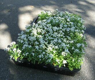Alyssum seedlings 40