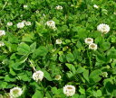 【有効期限5月 3割引!】シロクローバーの種 1kg
