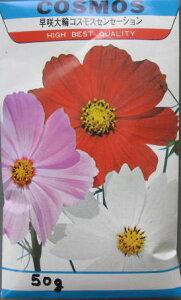 【景観用】早咲き大輪コスモスセンセーションの種 50g
