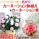 母の日ギフト お花のつぼみとカーネーション鉢植 送料無料 女性 プレゼント 花鉢 バンビーノカーネーション茶 花咲く…