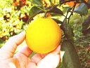 わけあり土佐小夏 ニューサマーオレンジ 日向夏 約5キロ 高知産 ご家庭用 M〜2Lサイズ 初夏の香り 糖度非検査品 送料…