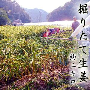 掘りたて 生姜 約2キロ 高知産 送料無料 掘った翌日発送 期間限定 日本一の産地からお届け しょうが ショウガ 国産 giger 紅茶 パウダー 粉末 シロップ 生姜湯