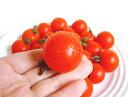 650 tomato sugi13