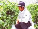 650 tomato sugi15