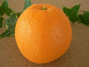 食品サンプル グッズ オレンジ 丸 フルーツ 果物 お供え