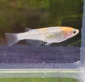 煌ラメメダカ 2匹ペア/めだか 透明鱗 埼玉産 淡水 2匹セット(オス1匹、メス1匹)