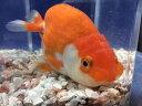 らんちゅう 約9cm前後 1匹/ランチュウ 淡水 金魚 生体 埼玉産 赤 更紗 白勝ち