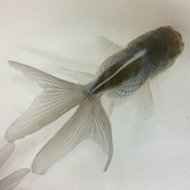 青文魚 6〜7cm前後 3匹(四尾、三尾)/お一人様1点限り せいぶんぎょ 金魚 生体 淡水魚