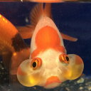 水泡眼(小) 1匹/金魚 生体 吉岡養魚産 淡水魚