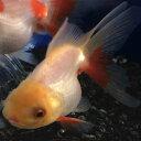 オランダシシガシラ5cm前後 3匹/おらんだししがしら 生体 平賀養魚場産 金魚 生体 淡水