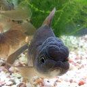 オランダシシガシラ 1匹/金魚 生体 埼玉産 黒茶系 珍しい 観賞魚