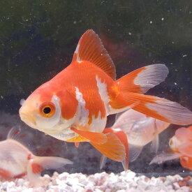 更紗琉金(小) 5から6cm前後 3匹/金魚 生体 埼玉産 琉金