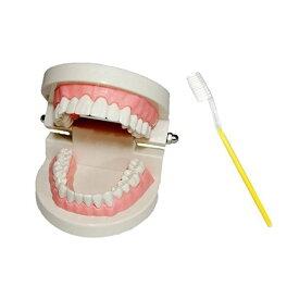 cmy select 歯 模型 歯列模型 歯模型 実物大 モデル 180度 開閉式 歯ブラシ セット