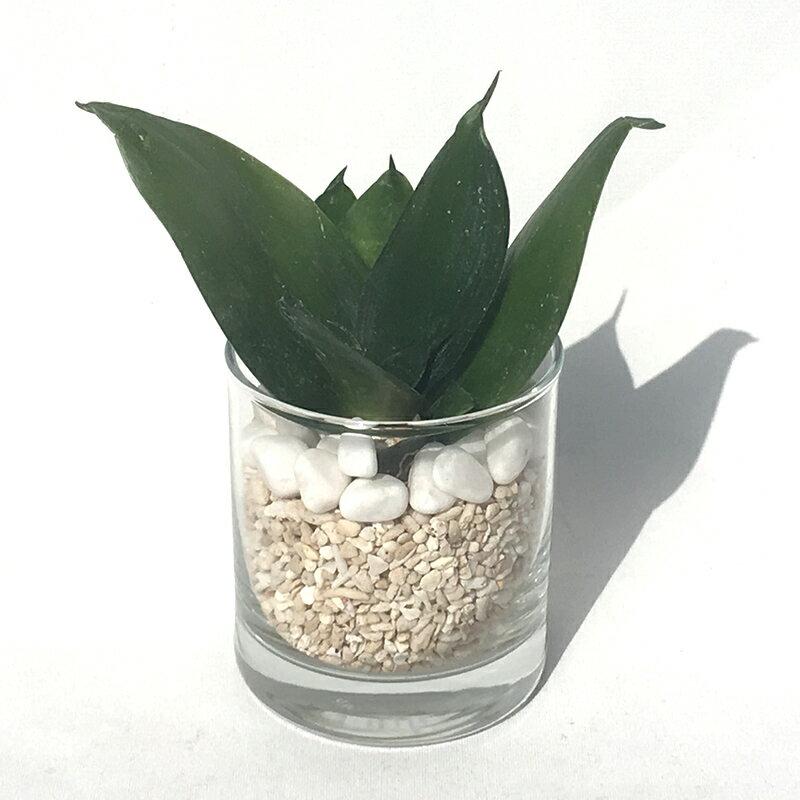 【ハイドルカルチャー 観葉植物】サークル80 サンゴ砂 サンスベリアハニー