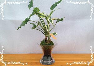 スパイラルグラス Φ9苔玉 炭 2種寄せ植え サンデリー&シンゴニウム