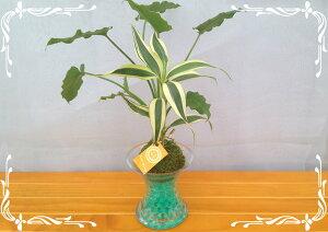 スパイラルグラス Φ9苔玉 ゼリーボール 2種寄せ植え サンデリー&シンゴニウム