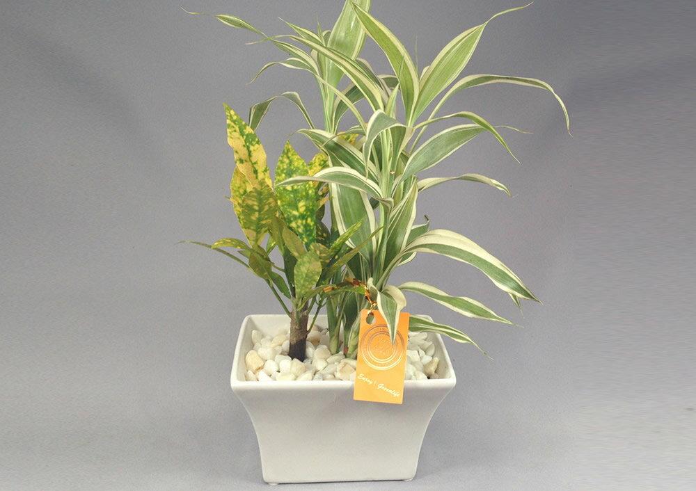 白鉢 ペレット植え クロトン&サンデリー2種寄せ植え
