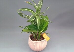 チューリップ鉢(陶器) ハイドロボール・2種寄せ植え
