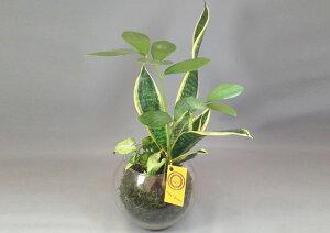 【ハイドロカルチャー】バブ15 Φ12苔玉3種寄せ植え シンゴニューム/ザミア/サンスベリア