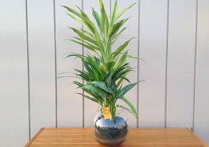 【ハイドロカルチャー】バブ18 Φ15苔玉3種寄せ植え アレカヤシ/アグラオネマ/サンデリアーナ