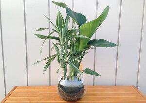 【ハイドロカルチャー】バブ18 Φ15苔玉3種寄せ植え オーガスタ/バンブー/サンデリアーナ