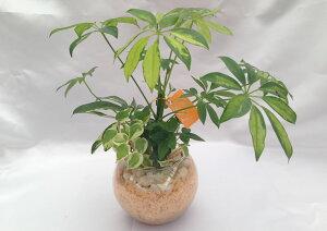 ハイドロカルチャーバブ15グラス ヒノキの苗床3種寄せ植えフイリカポック/アイビー/ペペロミア白