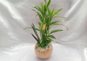 ハイドロカルチャーバブ12グラス ヒノキの苗床3種寄せ植え