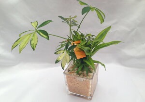 ハイドロカルチャーブロック10グラス ヒノキの苗床3種寄せ植え季節に応じて苗種が変わります。