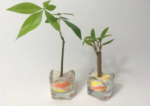 ハイドロカルチャーミニミニグラス2鉢セットカラーサンド 橙/黄