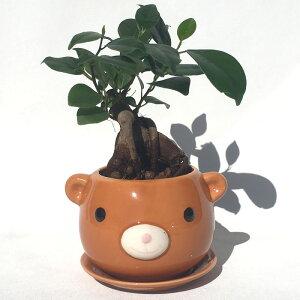 ハイドロカルチャー 観葉植物 クマの陶器鉢 ガジュマルの木