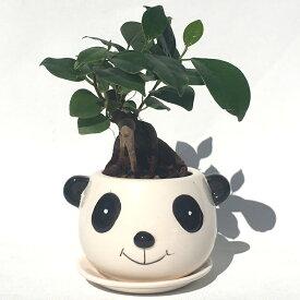 ハイドロカルチャー 観葉植物 パンダの陶器鉢 ガジュマルの木