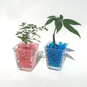 スクエアベースS ゼリーボール おまかせ2鉢セット【ハイドロカルチャー】【ミニ観葉植物】