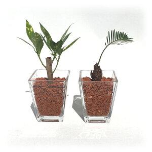 スクエアベースS 茶瓦チップ おまかせ2鉢セット【ハイドロカルチャー】【ミニ観葉植物】