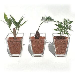 スクエアベースS 茶瓦チップ おまかせ3鉢セット【ハイドロカルチャー】【ミニ観葉植物】