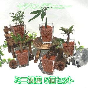 スクエアベースS 茶瓦チップ おまかせ5鉢セット【ハイドロカルチャー】【ミニ観葉植物】