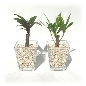 スクエアベースS サンゴ砂 おまかせ2鉢セット【ハイドロカルチャー】【ミニ観葉植物】