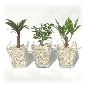 スクエアベースS サンゴ砂 おまかせ3鉢セット【ハイドロカルチャー】【ミニ観葉植物】