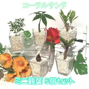 スクエアベースS サンゴ砂 おまかせ5鉢セット【ハイドロカルチャー】【ミニ観葉植物】